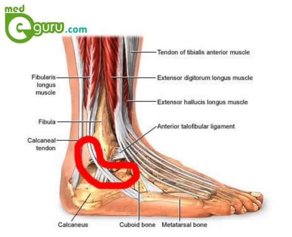 Больберцовой кости внизу ноги